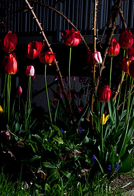 Tulips by night - p1514m2108974 by geraldinehaas
