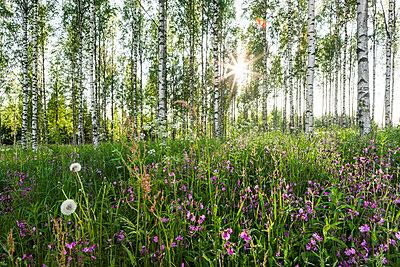 Birkenwald - p362m1541449 von André Wagner