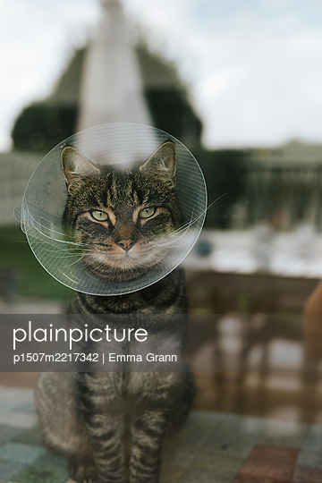 Cat with neck brace at the window - p1507m2217342 by Emma Grann