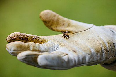 Honigbiene auf der Hand eines Imkers - p1579m2158100 von Alexander Ziegler