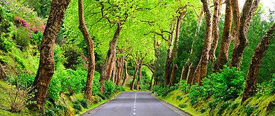 Trees bordering a rural road near Povoacao. Sao Miguel, Azores islands, Portugal - p6511708 by Mauricio Abreu photography