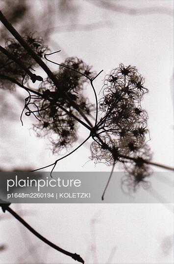 Verblühte Pflanze, Dolden, Nahaufnahme - p1648m2260194 von KOLETZKI