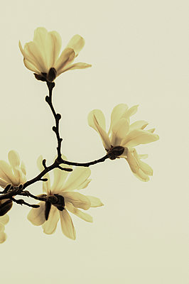 White magnolia flowers in bloom - p1047m1007784 by Sally Mundy