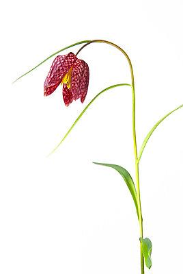 Snakeshead Fritillary Flower - p1562m2206342 by chinch gryniewicz