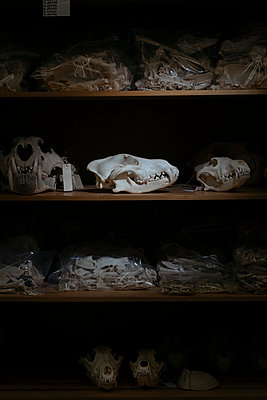 Animal skulls and bones - p363m2192963 by Thomas Victor