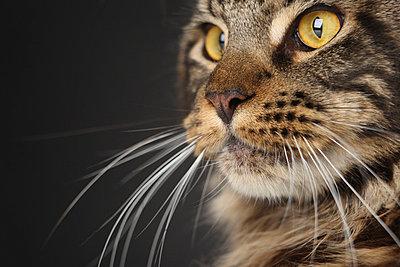 Maine-Coon-Katze - p4030971 von Helge Sauber