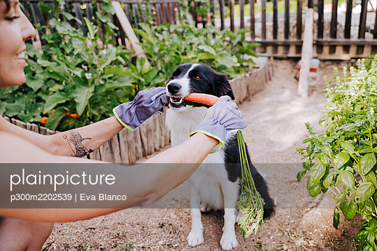 Mid adult woman feeding carrot to border collie in vegetable garden - p300m2202539 by Eva Blanco