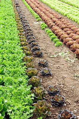 Salatanbau - p4510694 von Anja Weber-Decker