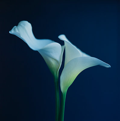 Two white Calla Lily flowers - p495m2278740 by Jeanene Scott