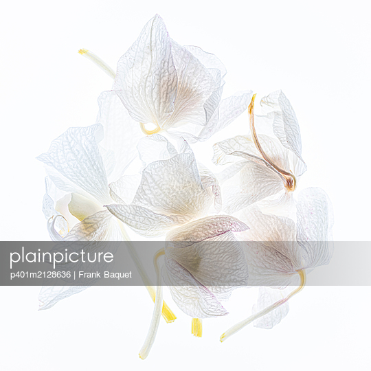 White orchid blossoms - p401m2128636 by Frank Baquet