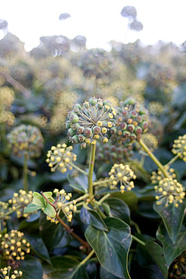 Ivy flowers - p1121m1031072 by Gail Symes