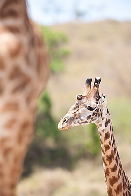 Two giraffes - p533m1425588 by Böhm Monika