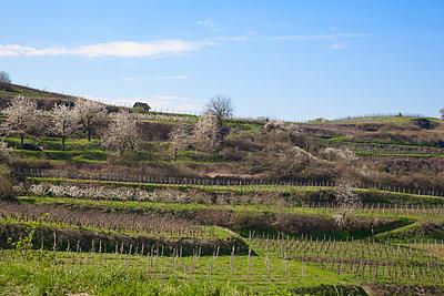 Weinberge im Kaiserstuhl - p573m1222144 von Birgid Allig