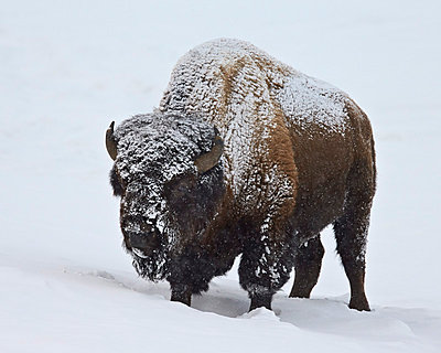 Bison (Bison bison) bull covered with snow in the winter, Yellowstone National Park, Wyoming, United States of America, North America - p871m975936f by James Hager