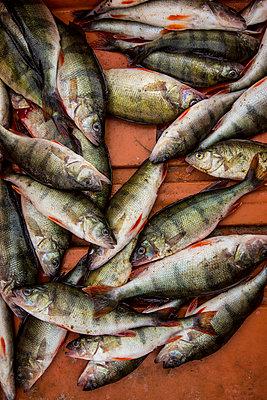 Fresh fish - p975m2278187 by Hayden Verry