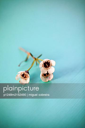 Chamelaucium uncinatum wax flowers - p1248m2152490 by miguel sobreira