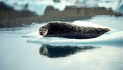 Grey seal (Halichoerus grypus) lying on an ice floe in Arctic waters. - p1100m1482342 by Mint Images