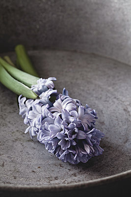 Blue stem of hyacinth on zinc tray - p1470m1559303 by julie davenport