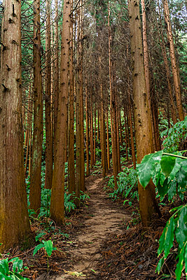 Forest path, Sao Miguel Island, Azores, Portugal - p300m2169968 by VITTA GALLERY
