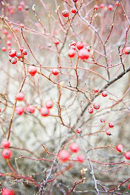 Rote Winter Beeren - p830m1008189 von Schoo Flemming