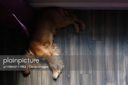 High angle view of Cocker Spaniel sleeping on hardwood floor at home - p1166m2111963 by Cavan Images