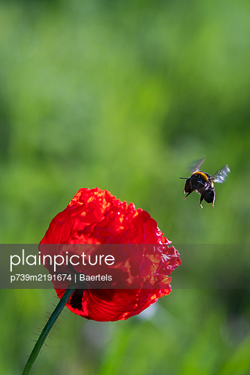 Bumblebee and poppy flower - p739m2191674 by Baertels