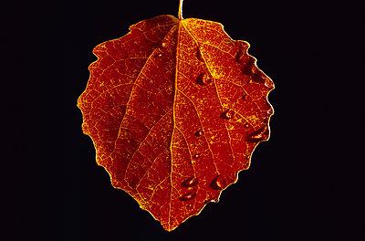 Aspen leaf with water drops - p1418m1571535 by Jan Håkan Dahlström