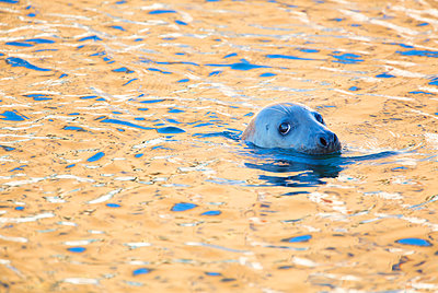 Grey seal (Halichoerus grypus) in golden coloured water in a working harbour, Scotland. - p1424m1500607 by James Silverthorne