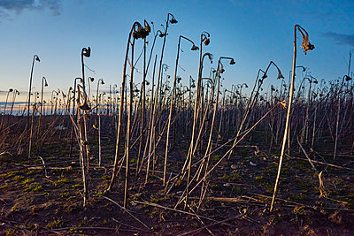 Field with withered sunflowers - p1481m2210491 by Peo Olsson