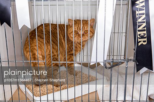 Katze im Käfig auf einer Katzenshow - p1057m1564467 von Stephen Shepherd