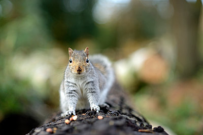 Grey squirrel, Sciurus carolinensis, on tree trunk - p300m930032f by Mark Johnson