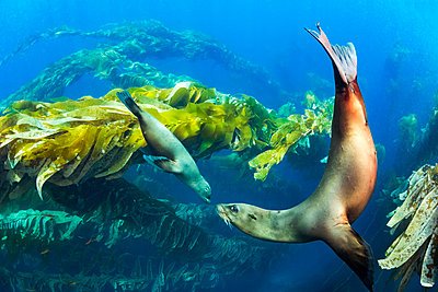 California sea lions playing in a kelp forest off Santa Barbara Island; California, United States of America - p442m1217806 by Dave Fleetham