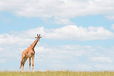 Giraffe standing in a meadow - p5330108 by Böhm Monika