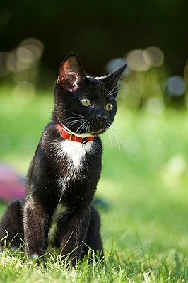 A black and white kitten sitting on grass with an alert expression. - p1433m2008061 by Wolf Kettler