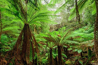 Oceania, Australia, Tasmania, Tarkine Forest at Trowutta Arch - p651m2033445 by Christian Heeb