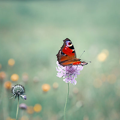Peacock butterfly - p1168m2143124 by Thomas Günther