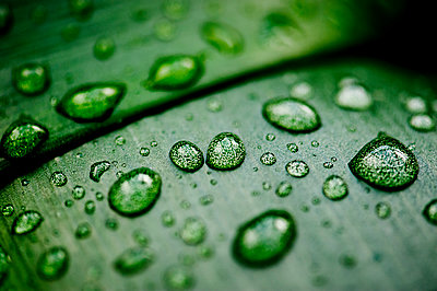 Water drops on leaf - p1523m2064328 by Nic Fey