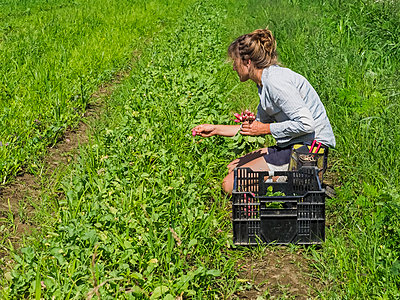 Woman harvesting radishes, Prince George County; Upper Marlboro, Maryland, United States of America - p442m2037053 by Stefan Kaben