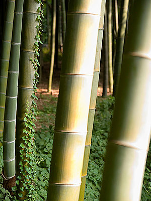 Bamboo forest - p1205m1040787 by Klaus Zwerger