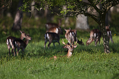 Group of fallow deers in forest - p575m719266 by Sven Halling