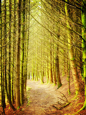 Path through conifer forest - p597m883486 by Tim Robinson