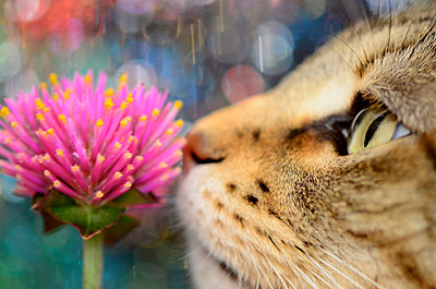 Cat Smelling Pink Flower, Close Up - p694m872668 by Ainsley Kellar