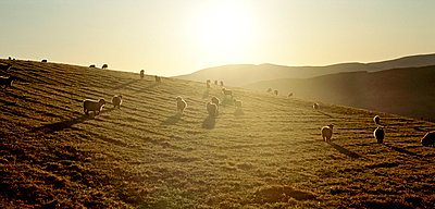 Sheep on hilltop - p1125m1042675 by jonlove