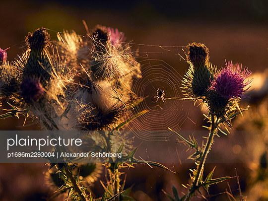 Thistle with spider net - p1696m2293004 by Alexander Schönberg