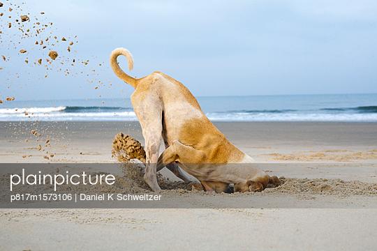 Spielender Hund am Stand - p817m1573106 von Daniel K Schweitzer