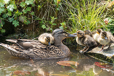 A visibly pleased mother duck takes her freshly hatched ducklings to a garden pond in rural England. - p1433m1502206 by Wolf Kettler