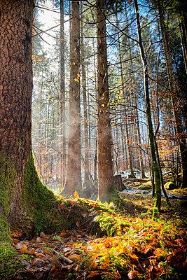 Pine trees forest floor mist steam winter sunlight - p609m1473043 by OSKARQ