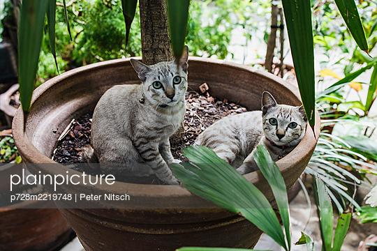 Zwei Katzen in Blumentopf - p728m2219748 von Peter Nitsch