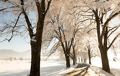 Germany, treelined country road in winter - p300m1228506 by Christina Falkenberg