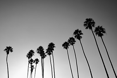 Silhouetted palm trees against sunny sky, Santa Barbara, California, USA - p301m2070922 by Norman Posselt